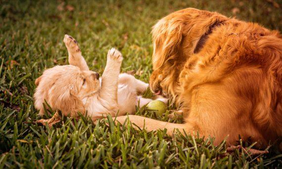 puppy-823190_1920