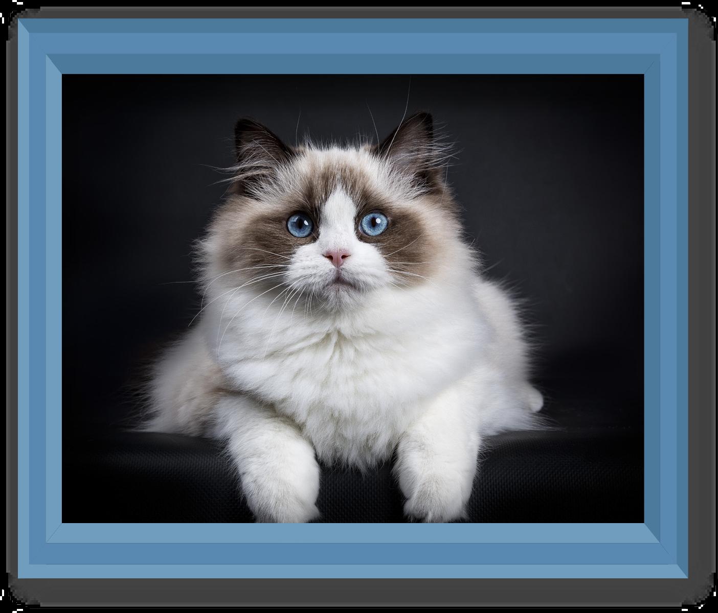 history of pets ragdoll cat montego. Black Bedroom Furniture Sets. Home Design Ideas